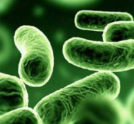 Unas bacterias en un estudio de Biotecnología